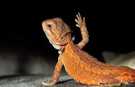 waving bearded dragon