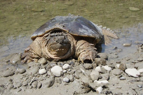 Will Snapping Turtles Attack Swimmers Or Other Animals?