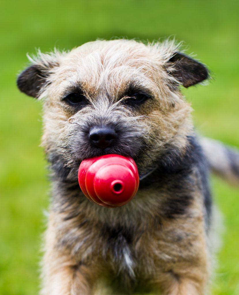 Advice for Border Terrier Fur Coat Care