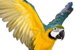 Can A Bird With Clipped Wings Ever Fly Again