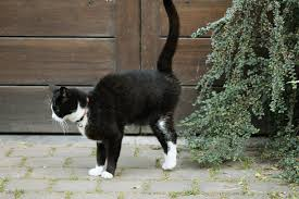 Cats may mark their scent with their urine