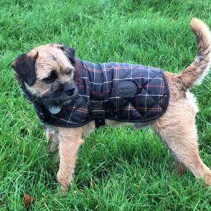 Do Border Terriers Need Coats In Winter