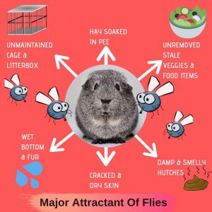 Do Guinea Pigs Attract Flies?