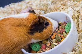 Guinea Pig Dietary Needs