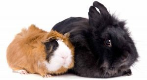 Guinea Pig and Rabbit's communication