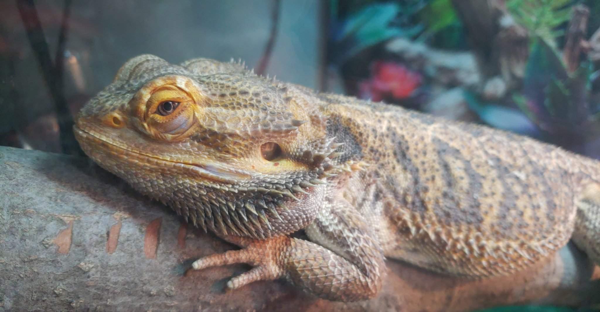 How Long Do Bearded Dragons Brumate?