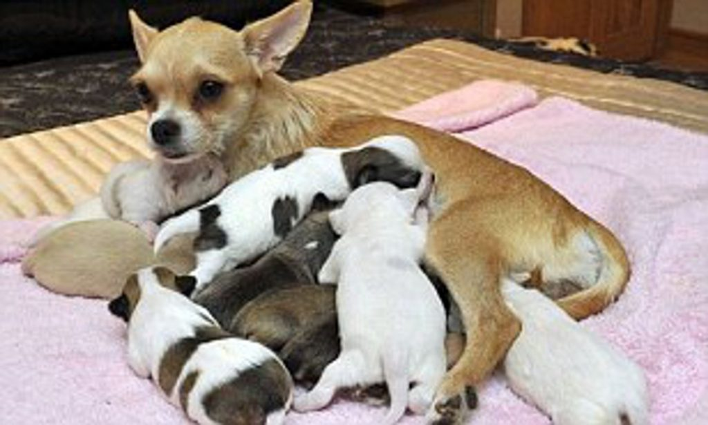 How Many Puppies Will My Chihuahua Have