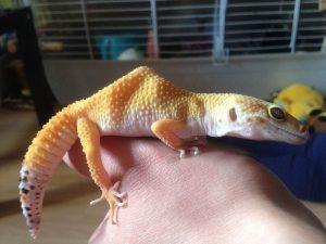How to Fatten Up A Leopard Gecko.jpg