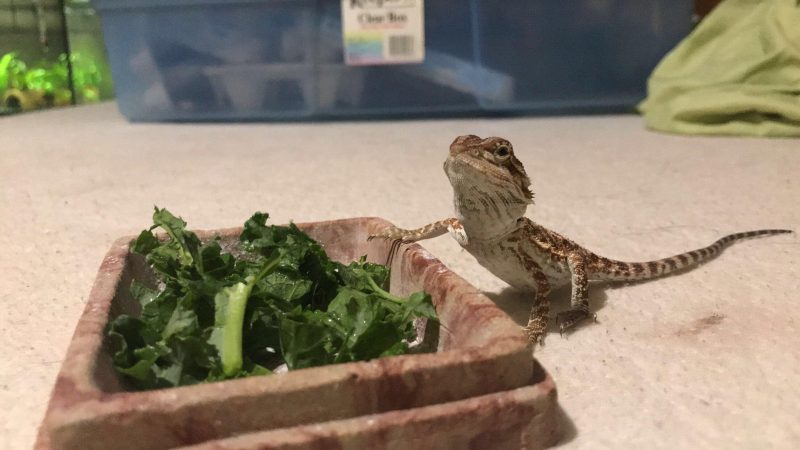 Is Kale Good For Bearded Dragons?