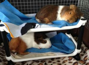 Will My Guinea Pig Jump Off The Bed?