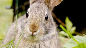 rabbits are known for clawing