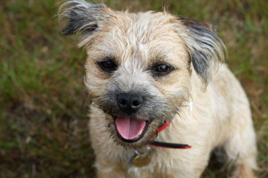 Are Border Terriers Yappy?