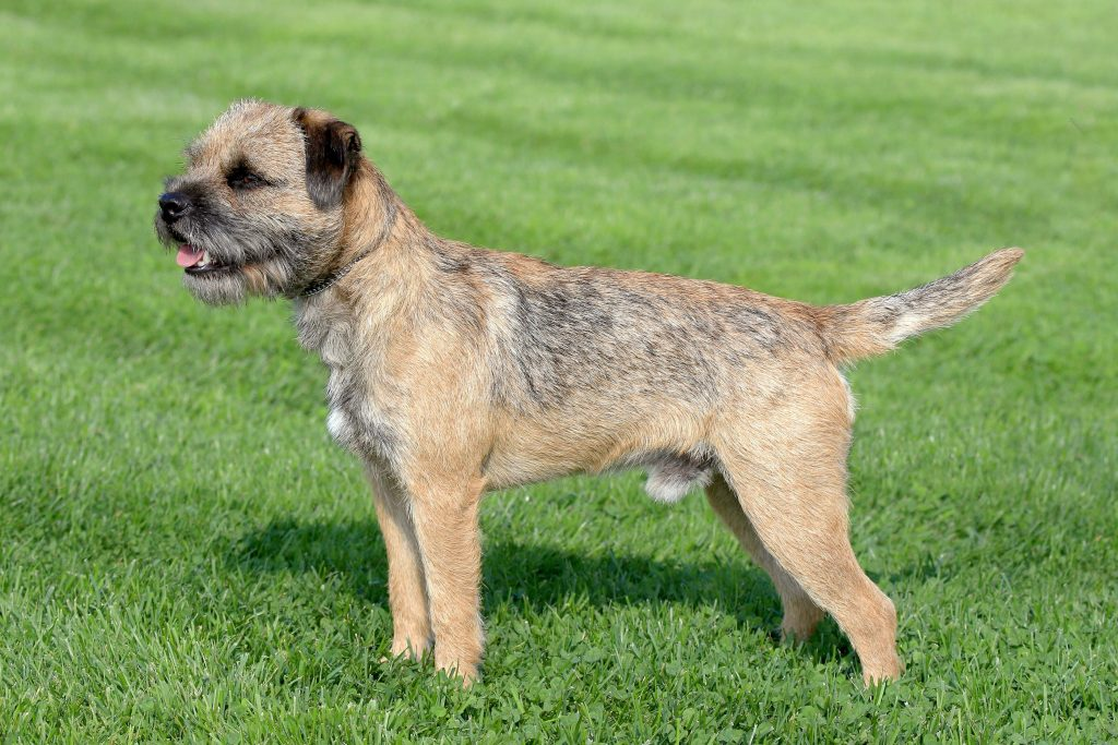 Border Terriers Do Shed