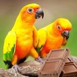 Can Birds Eat Chocolate? And why?