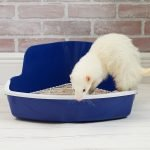 Can Ferrets Use Pine Litter