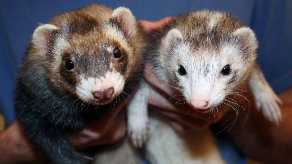 Can I Vaccinate My Ferret at Home?