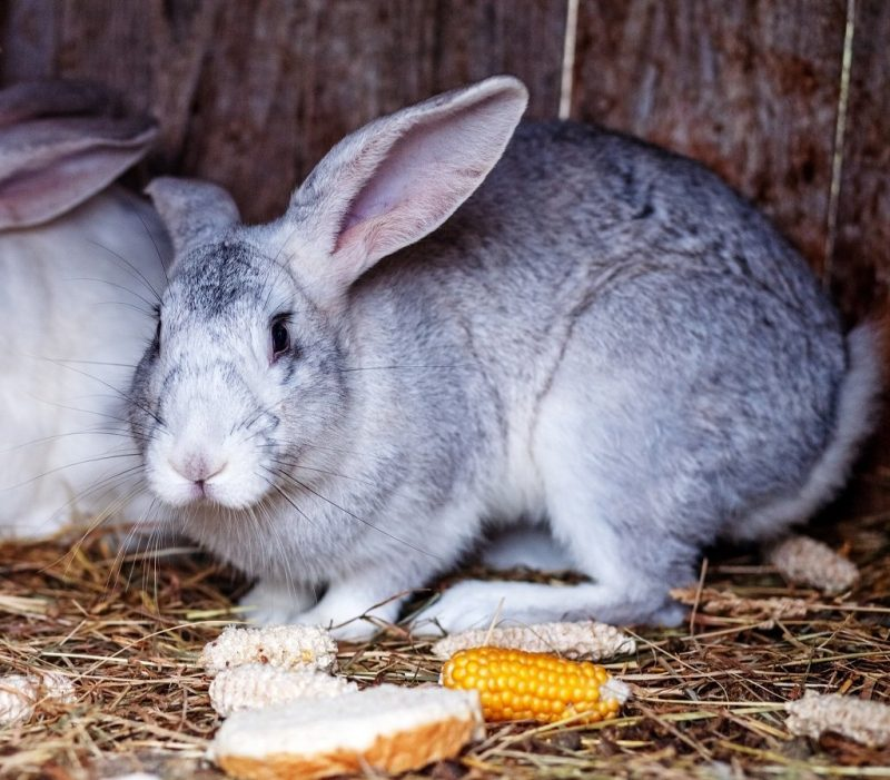 Can Rabbits Eat Bread?