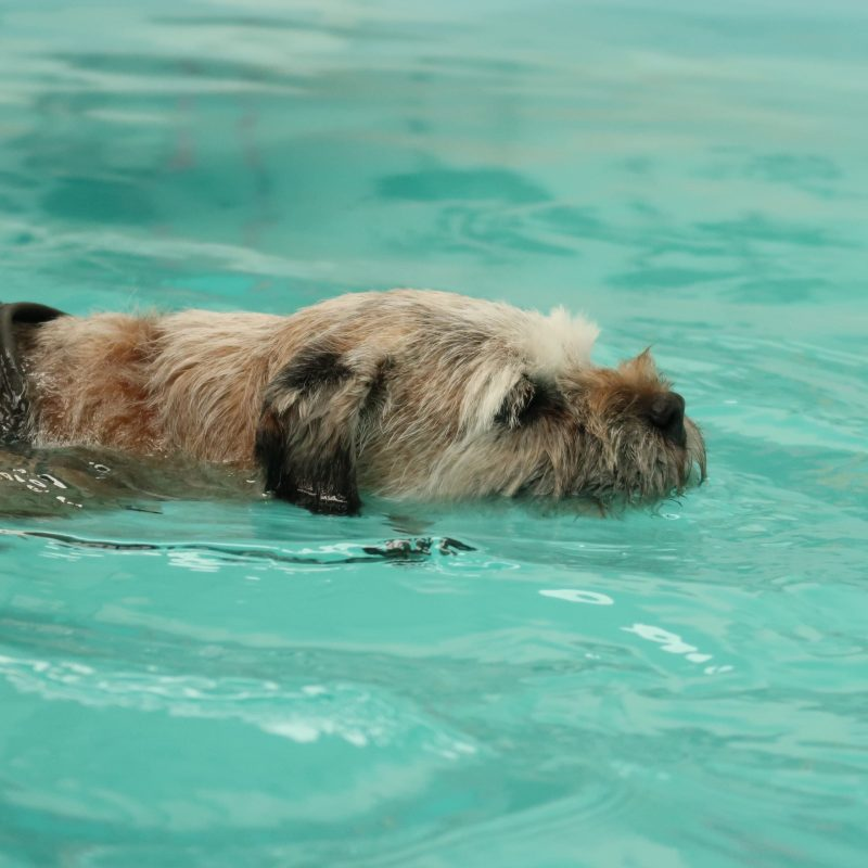 Can Border Terriers Swim? Do They Like to Swim?