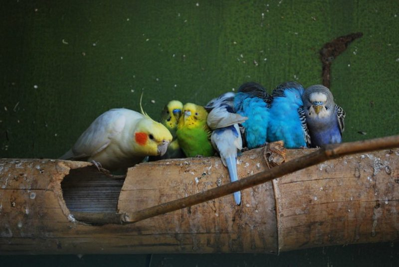 Can Parakeets And Cockatiels Live Together?