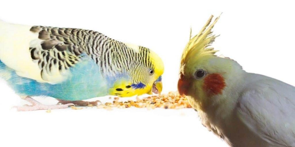 Cockatiels and parakeets share similar diet requirements