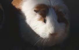 Do Guinea Pigs Like The Dark?