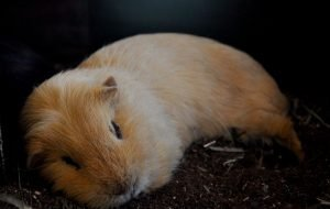 Do Guinea Pigs Like the Dark? Can They See Properly?