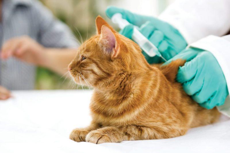 Do Indoor Cats Need Shots Every Year?