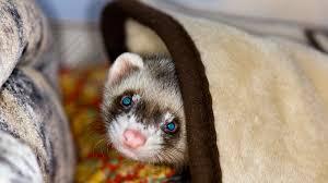Ferret Hair Loss Diagnosis