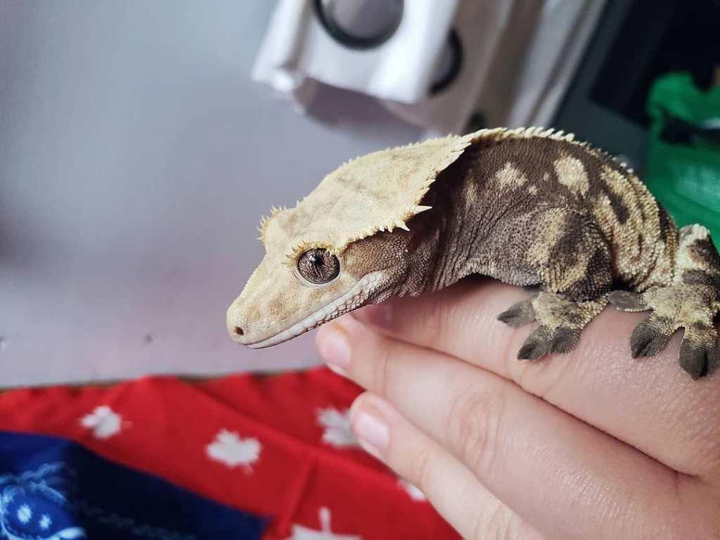 How Do I Introduce New Crested Geckos?