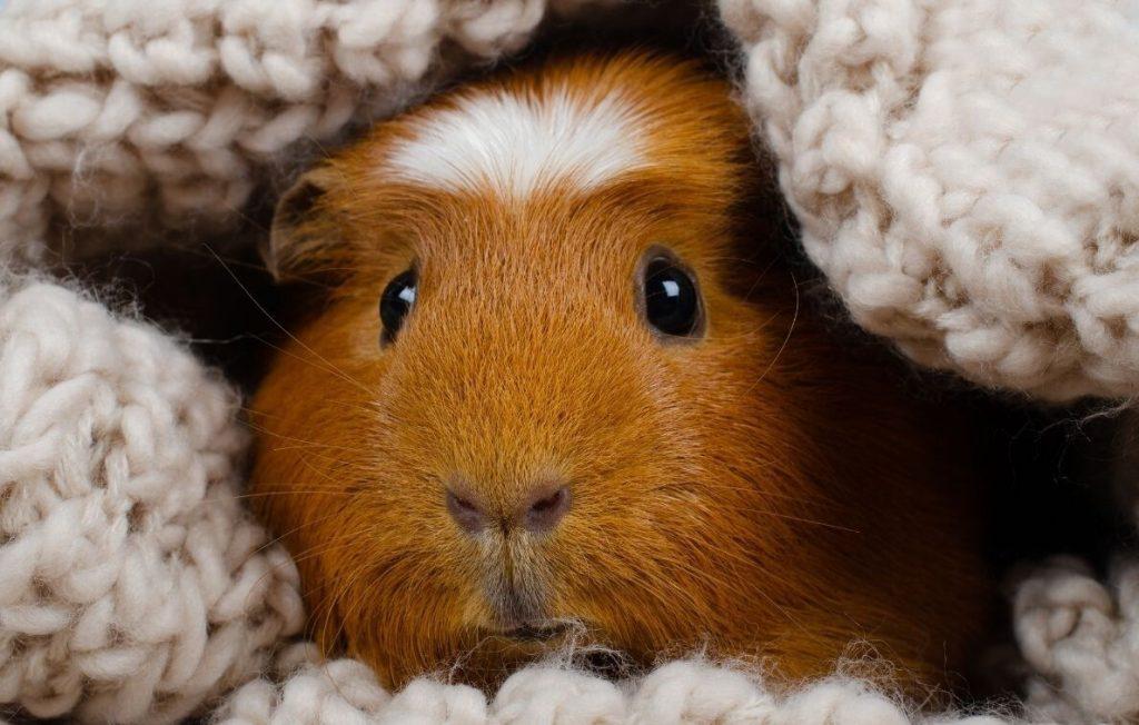How Guinea Pigs' Eyes Work