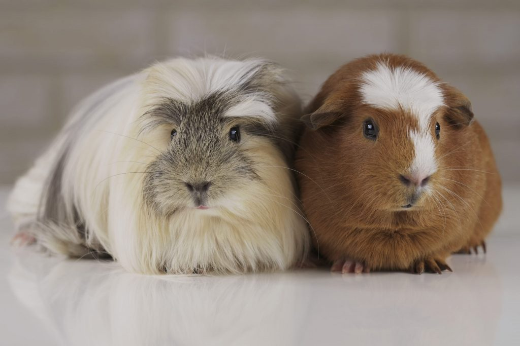 How To Ensure Your Guinea Pig Does Not Eat Its Babies