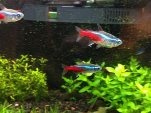 How To Tell If Your Neon Tetra Is Pregnant Or Just Fat?