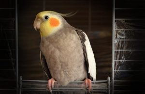 How To Care For An Old Cockatiel