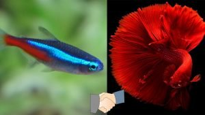 How To Introduce Neon Tetras To A Betta