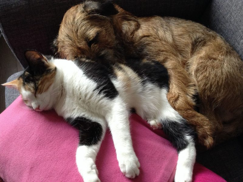 How To Get My Border Terrier To Live With My Cats