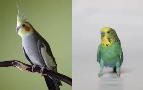 Similarities Between Parakeets and Cockatiels