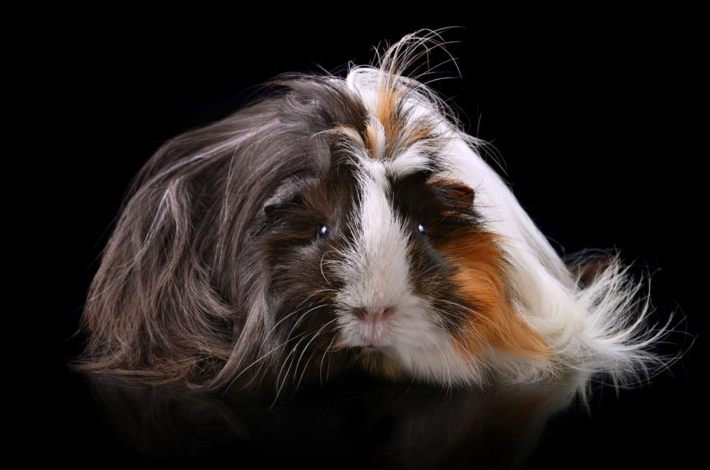 Things Guinea Pigs Do In The Dark