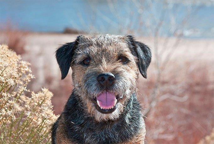 To decrease dander allergens, brush your Border terrier once a week