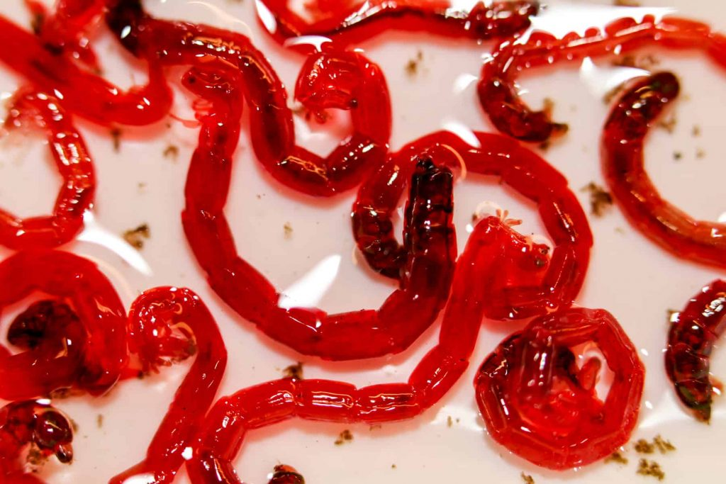 What Are Bloodworms?