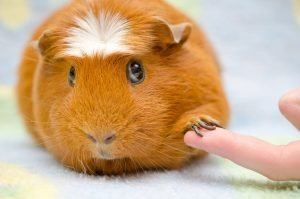 Why Is My Guinea Pig Scared Of Me?