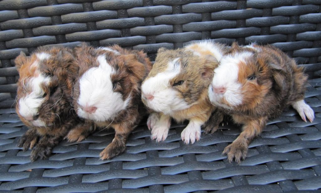 Why male guinea pigs eat their babies