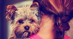 Yes! Yorkies Love To Cuddle!