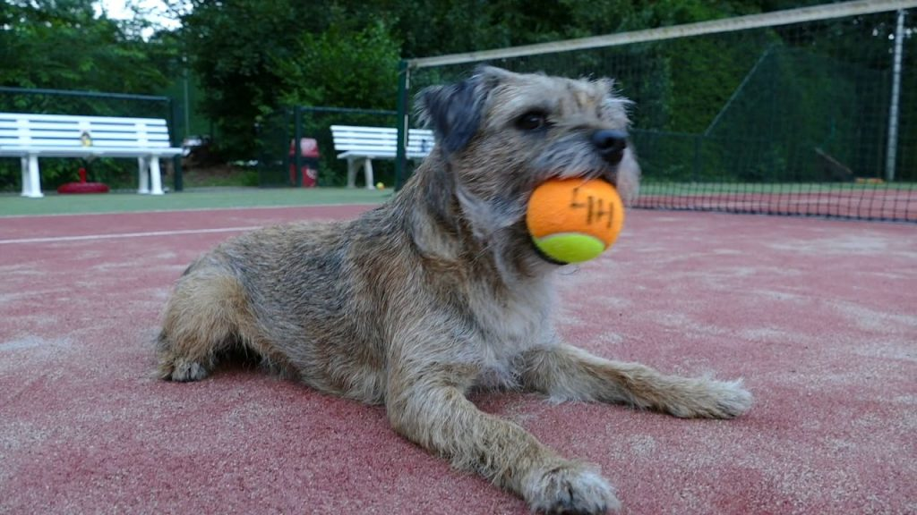 border terrier plays with tennis ball