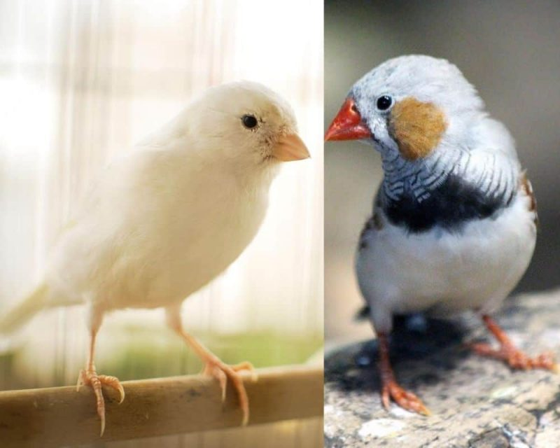 Can Canaries And Finches Live Together