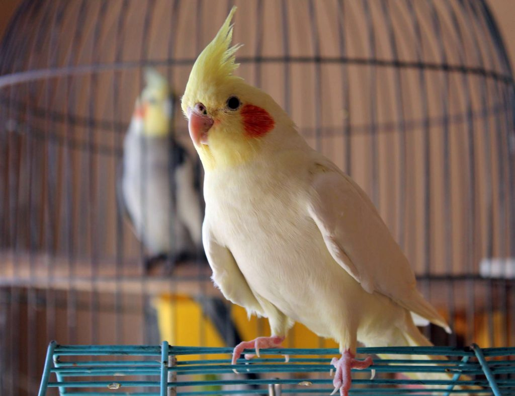 time outside of the cage is not only important for your cockatiel's health and happiness, it will also allow you to enjoy her so much more