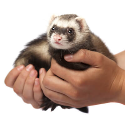 to protect your ferret against these infections, you need vaccination