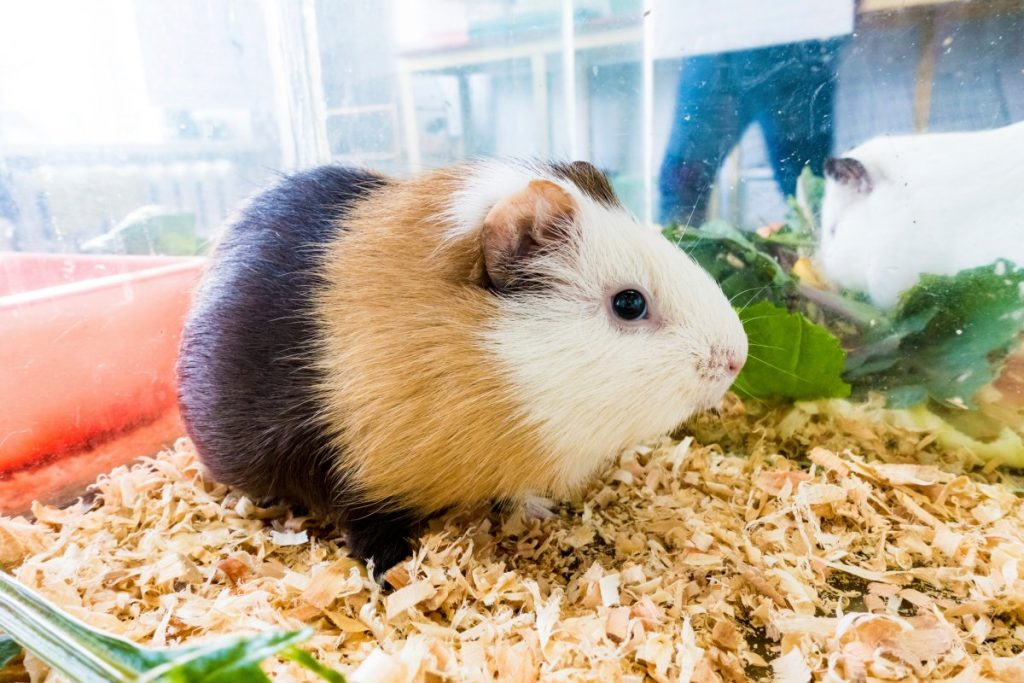 understanding about Guinea pigs