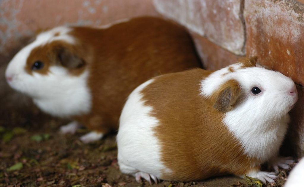Your Guinea Pig is Adjusting to a New Environment