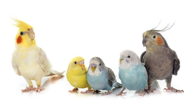 Cockatiels and parakeets can certainly coexist peacefully in your home