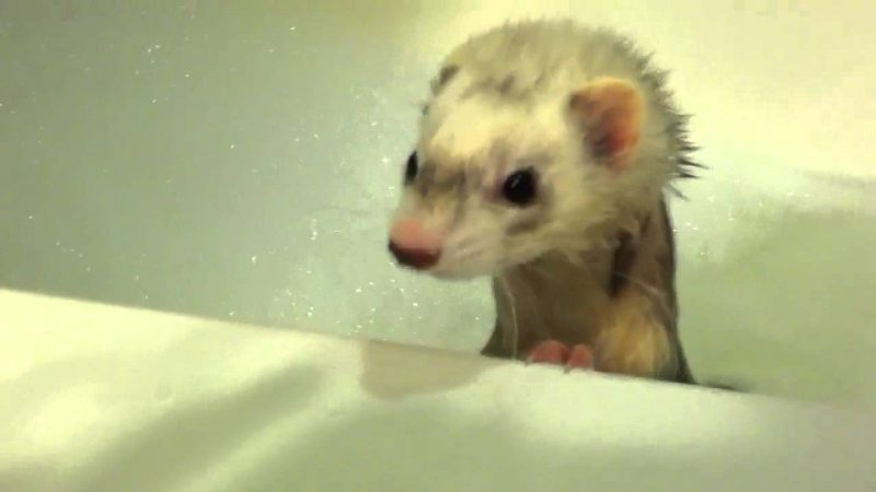 Can You Give Ferrets Baths?